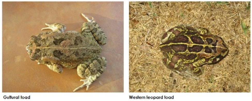Endangered western leopard toad threatened by an invasive look-alike.